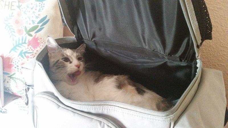Nora es una gata con linfoma y paraplegia